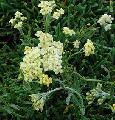 Achillea tomentosa 'King George'