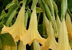 Brugmansia 'Angel Yellow' PPAF