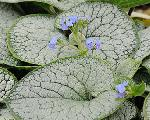 Brunnera macrophylla 'Sea Heart' PP#24684