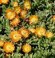 Delosperma 'Orange Wonder' PP#25600