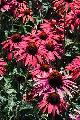 Echinacea Hot Summer TM PP#20687