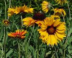 Gaillardia aristata 'Amber Wheels'