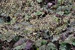 Heuchera villosa 'Brownies' PPAF