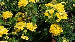 Lantana 'Chapel Hill Yellow' PP#19548