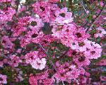 Leptospermum scoparium 'Candy Cane'