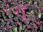 Loropetalum chinense Jazz Hands 'Dwarf Pink' PP#27750