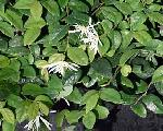 Loropetalum chinense Jazz Hands 'Dwarf White' PP#27751