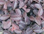 Loropetalum chinense 'Burgundy'