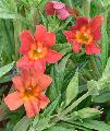Mimulus 'Jelly Beans Brick'