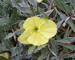 Oenothera missouriensis 'Greencourt Lemon'