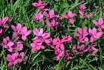 Rhodohypoxis baurii 'Dark Lights'