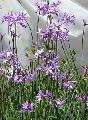 Tulbaghia violacea--giant form