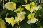 Abutilon 'Buttermilk Delight' TM