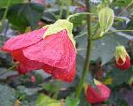 Abutilon 'Glowbelle' TM
