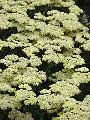 Achillea Moon Dust TM PP#25838