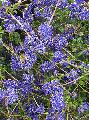 Ceanothus 'Midnight Magic'