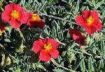 Helianthemum nummularium 'Stoplight'