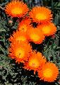 Lampranthus 'Orange Flame'