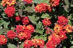 Lantana camara 'Red Spread' PP#14691