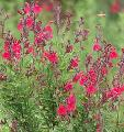 Salvia greggii 'Furman's Red'
